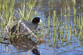 Coot in grassy shallow water. — Stock Photo