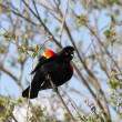 Stock Photo: Chirping red winged black bird.