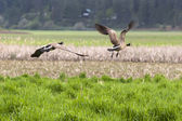 Geese flying off. — Stock Photo