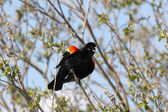 Chirping red winged black bird. — Stock Photo