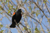 Red winged black bird singing. — Stock Photo