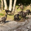 Turkeys in a group. — Stock Photo