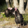 Stock Photo: Turkeys by tree.
