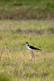 Small cute black necked stilt. — Stock Photo