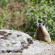 Foto Stock: Small marmot behind rocks.