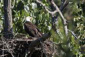 Side profile of Eagle. — Stock Photo