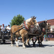 Draft horses in parade. — Stock Photo