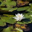 Water lily in the water. — Stock Photo