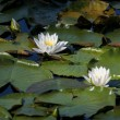 Pair of water lilies. — Stock Photo