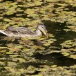 Duck swims in water. — Stock Photo #29858211