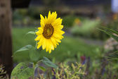 Sunflower in a garden. — Stock Photo