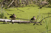 Two wood ducks on log. — Stock Photo