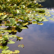 Lily pads in still water. — Foto de Stock