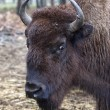 Bison portrait. — Stock Photo