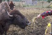 Feediing bizon. — Zdjęcie stockowe