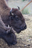 Adult and junior bison. — Stock Photo
