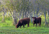 Two cows grazing. — Stock Photo