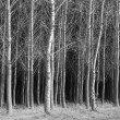 Fine art B&W of trees. — Stock Photo