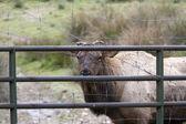 Elk looking through gate. — Stockfoto