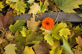 Fall leaves on ground with flower. — Stock Photo