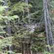 Stock Photo: Deer partly hidden.