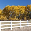 Stock Photo: Pretty Aspen trees.