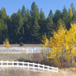 Aspen tree at end of fence. — Stock Photo