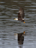 Eagle just caught a fish. — Stock Photo
