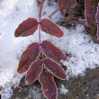Hoar frost on red leaves. — Stock Photo #38538485