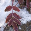 Stock Photo: Hoar frost on red leaves.