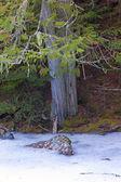 Ağacın yanında kar ve kaya. — Stok fotoğraf
