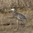 Heron walking in field. — Stock Photo #38540753
