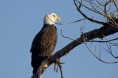 Eagle on a branch. — Stock Photo