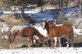 Grazing horses. — Stock Photo