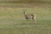 Deer in grassy field. — Stock Photo