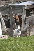 いくつかのヤギ. — ストック写真