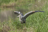 Heron just caught a fish. — Stock Photo
