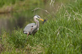 Heron holds fish in beak. — Stock Photo