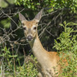 Постер, плакат: Whitetail deer in brush
