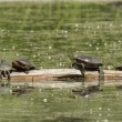 Painted turtles on a log. — Stock Photo #48580717