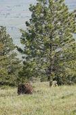 Buffalo by the tree. — Stock Photo
