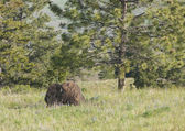 Bison by the tree. — Stock Photo