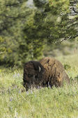 Bison lays in the meadow. — Stock Photo