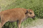 Bison Calf. — Stock Photo