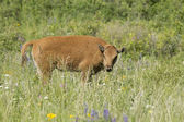 Bison calf in field. — Stock Photo