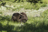 Bison lays in the shade. — Stock Photo