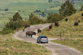 Bison blocks cars path. — Stock Photo