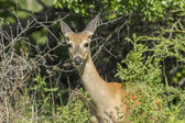 Whitetail deer in brush. — Stockfoto