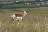 Antelope on hill. — Stock Photo