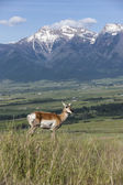 Antelope on hill with mountains. — Stock Photo